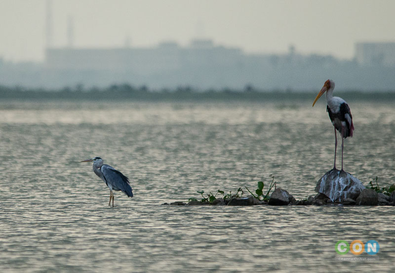 Grey Heron and Painted Stork at Chembarambakkam Lake.